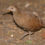 The Lord Howe Woodhen VS NSW Unborn Humans